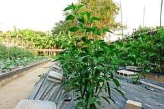 Растут, что с пластичной почвой крышки предотвращает прорастание засорителя и держит Vegetable завод влагу почвы Стоковые Изображения RF