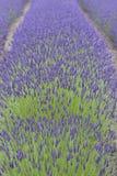 растущая лаванда Стоковые Фото