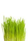 Растущая вертикаль зеленой травы Стоковые Изображения RF