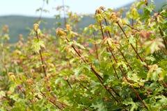 Растущая загородка клена Стоковое фото RF