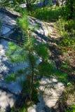 Растущая зеленая малая сосна в каменных слябах Сухой треснутый зеленый всход, конец вверх, новая жизнь, новая надежда, излечивает Стоковые Изображения RF