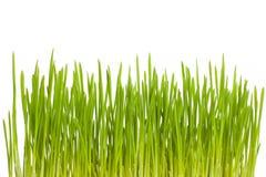 Растущая зеленая трава Стоковые Изображения