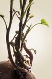 Растущая ирландская картошка III Стоковая Фотография RF