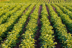 растущая картошка Стоковые Изображения RF