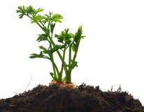 Растущая морковь стоковое фото