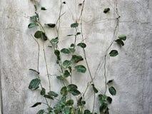 Растущая ползучесть на стене Стоковые Фотографии RF
