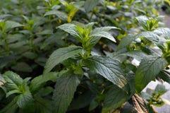 Растущая предпосылка листьев мяты Стоковые Изображения