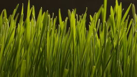 Растущая пшеница осеменяет земледелие Timelapse