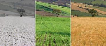 растущая пшеница Стоковая Фотография RF