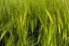 растущая пшеница Стоковая Фотография