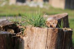 Растущая трава от мертвого дерева Стоковая Фотография