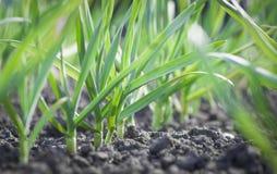 Растущая трава Стоковая Фотография RF
