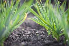 Растущая трава Стоковые Изображения RF