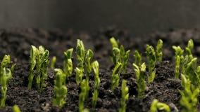 Растущая фасоль гороха осеменяет земледелие Timelapse видеоматериал