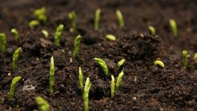 Растущая фасоль гороха осеменяет земледелие Timelapse сток-видео