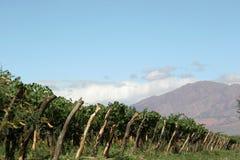 растущее вино Стоковые Изображения