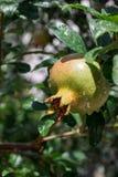Растущее гранатовое дерево лета Стоковые Изображения