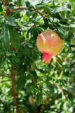 Растущее гранатовое дерево лета Стоковые Фото
