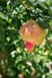 Растущее гранатовое дерево лета Стоковая Фотография