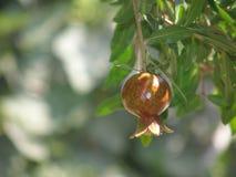Растущее гранатовое дерево Стоковое Фото