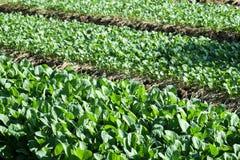Растущее китайской листовой капусты vegetable из земли в саде Стоковая Фотография
