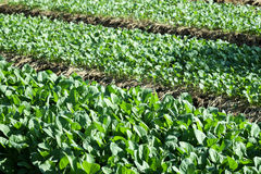 Растущее китайской листовой капусты vegetable из земли в саде Стоковые Фото