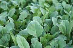 Растущее китайской листовой капусты vegetable из земли в саде Стоковое Фото