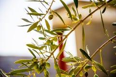 Растущее оливок на ветви против фона Стоковые Изображения