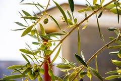 Растущее оливок на ветви против фона Стоковое Фото