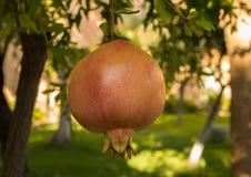 Растущее плодоовощ гранатового дерева в саде в Испании Стоковое Изображение