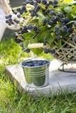 Растущее плодоовощ ежевики на ветви стоковое фото rf