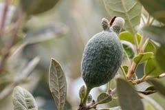 Растущее плодоовощ Feijoa на дереве Стоковое Изображение RF