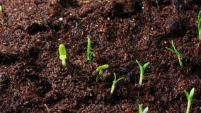 Растущее семя ноготк видеоматериал