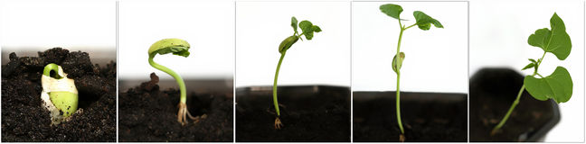 растущее семя Стоковые Фотографии RF