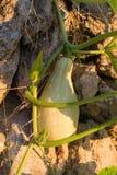 Растущее сердцевины лета vegetable в испанском саде Стоковая Фотография