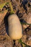 Растущее сердцевины лета vegetable в испанском саде Стоковые Фотографии RF