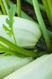 растущее сквош сердцевины Стоковая Фотография