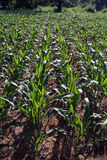 Растущее урожая маиса в строках Стоковое Изображение