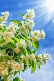 Растущее цветка жасмина в саде Стоковые Изображения RF