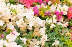 Растущее цветка на кусте в саде Стоковые Фото