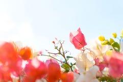 Растущее цветка на кусте в саде Стоковая Фотография