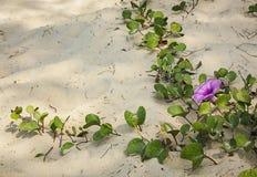Растущее цветка на пляже песка Стоковое Фото
