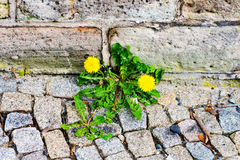 Растущее цветка одуванчика на тропе на стене дома Стоковое Фото