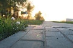 Растущее цветка через вымощая камень на заходе солнца Стоковая Фотография