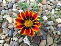 Растущее цветка Gazania в камне Стоковое Фото