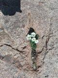 Растущее цветков из утесов стоковое фото rf