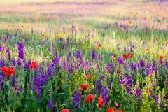 Растущее цветков лаванды и мака в поле стоковое фото