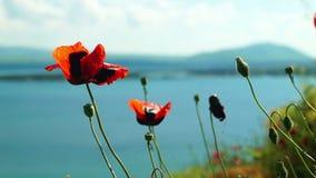 Растущее цветков мака на береге озера акции видеоматериалы