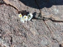 Растущее цветков на утесах стоковые фотографии rf