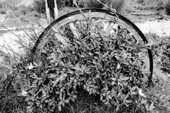 Растущее цветков через колесо тележки Стоковые Фото